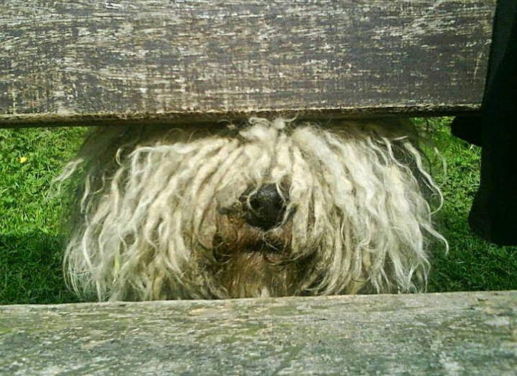 Mein treuer Begleiter, der Puli (Ungarischer Schäferhund) *Elmo Elfenkönig vom Tal des Lebens* EyeEmNewHere One Animal Outdoors Day Grass Domestic Animals Animal Themes No People Nature Pets