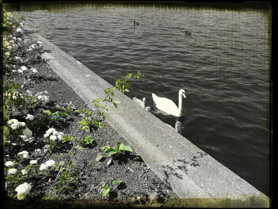 #Natur #Schwan Spree