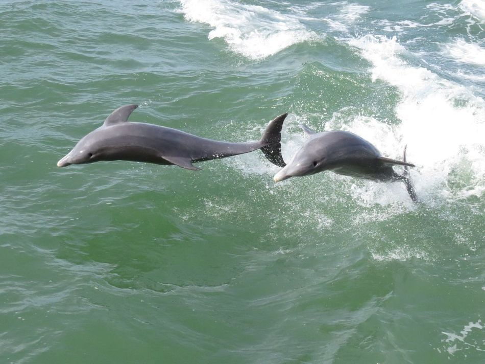 Playing Dolphins Jumping For Joy Florida Ocean I just love watching these guys...they really know how to play!