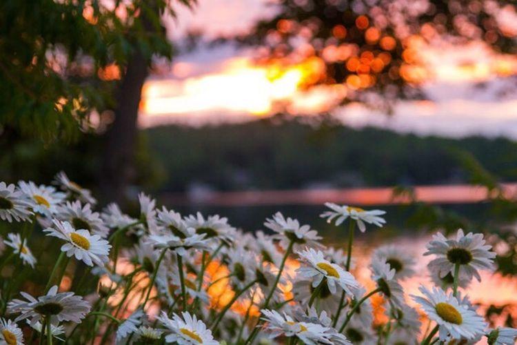 Sunrise daisies EyeEm Best Shots - Nature Nature Photography Canonphotography EyeEm Best Shots Flowers Daisies Sunrise Summer Atthelake Muskoka Lake Muskoka 43 Golden Moments Showcase:July Colour Of Life