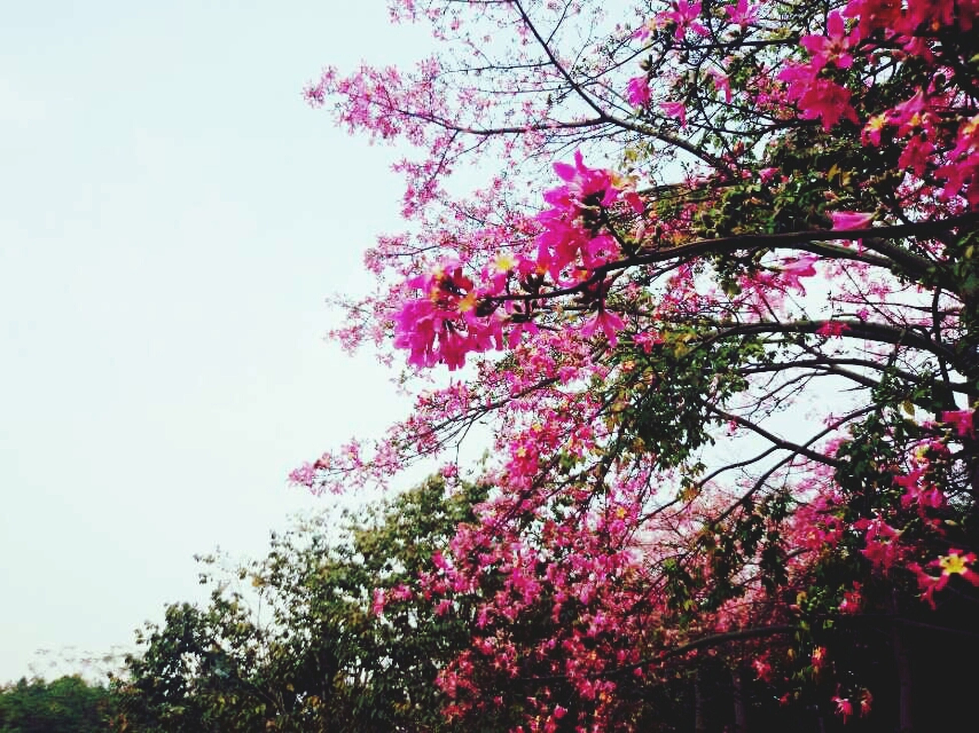 flower, tree, growth, freshness, pink color, beauty in nature, low angle view, branch, fragility, nature, blossom, blooming, in bloom, pink, sky, springtime, clear sky, petal, day, outdoors