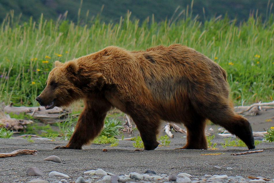 Adventure Alaska Animal Themes Animal Wildlife Animals Animals In The Wild Bear Grass Katmai National Park Mammal Nature One Animal Outdoors Too Close