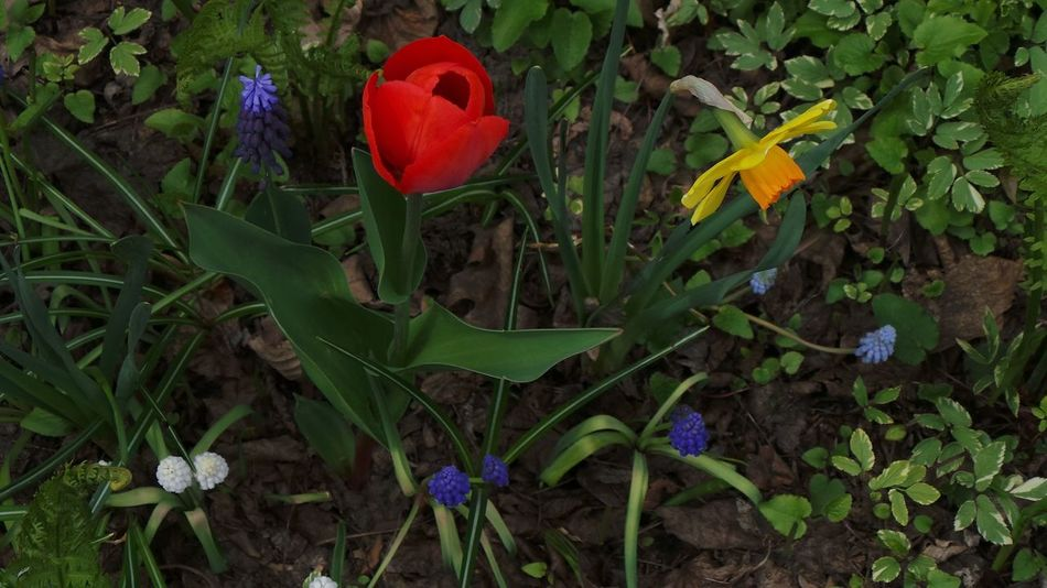 Flower Growth Nature Plant Leaf Green Color Beauty In Nature Freshness Petal Fragility Flower Head Outdoors No People Day Poppy Close-up Tulip Red Tulip Daffodils Flowers Tulips, Flowers, Garden Yellow Flowers EyeEm Nature Lover Variety Of Spring Flowers And Plants Vibrant Colors Green Plants Garden