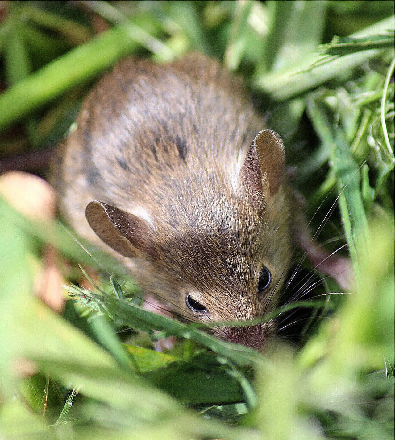 Mouse wildlife nature