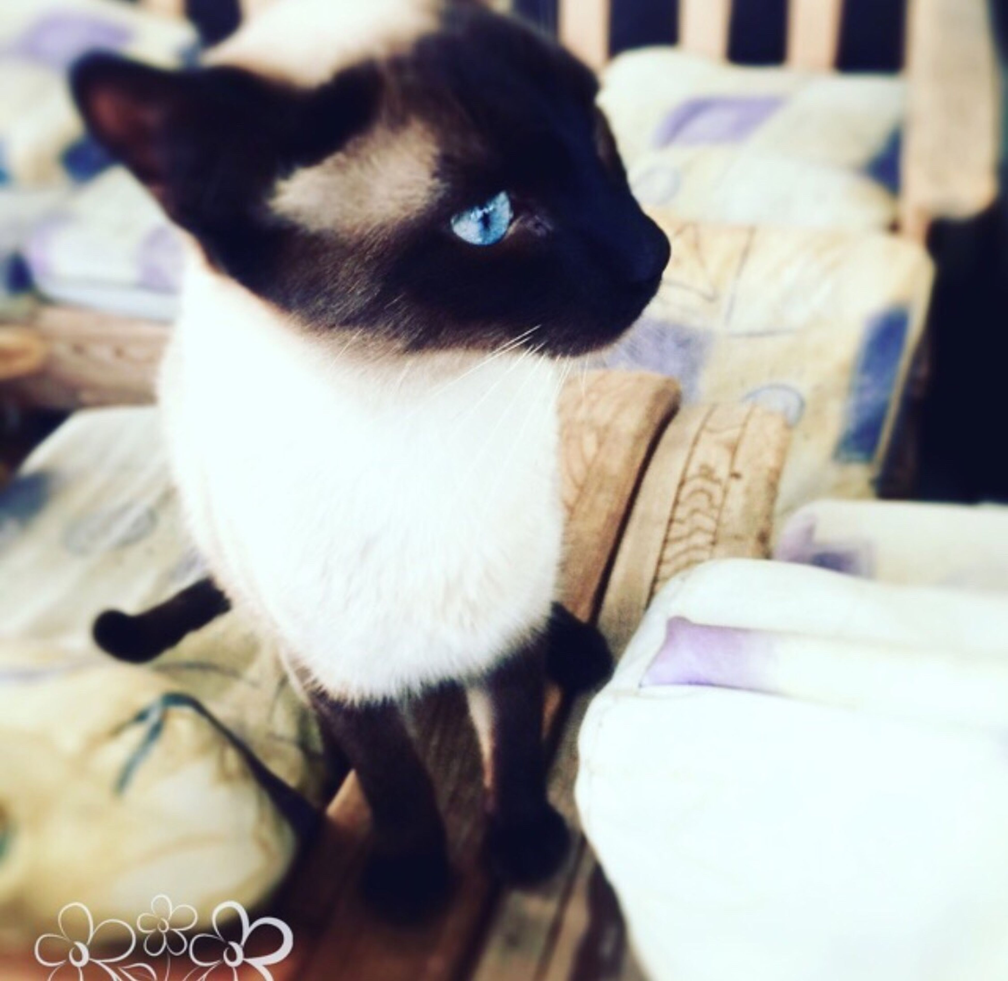 domestic animals, pets, one animal, mammal, animal themes, close-up, indoors, domestic cat, no people, day