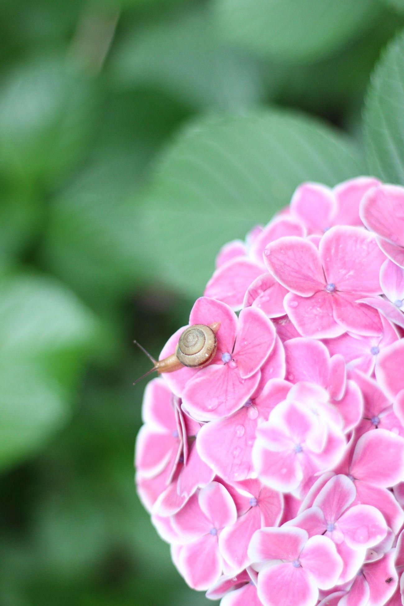 紫陽花 カタツムリ