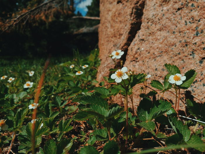 Fragaria Vesca Wild Strawberry Flowers Flower Collection Plants And Flowers Check This Out EyeEm Best Shots HuaweiP9 Vscocam Phoneography Mobilephotography VSCO Taking Photos Natures Diversities