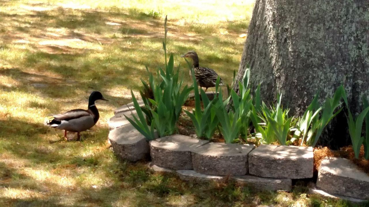 Plant Bird Nature Animal Themes Animals In The Wild No People Ducks Ducks In The Garden Mallard Ducks Duck Adapted To The City