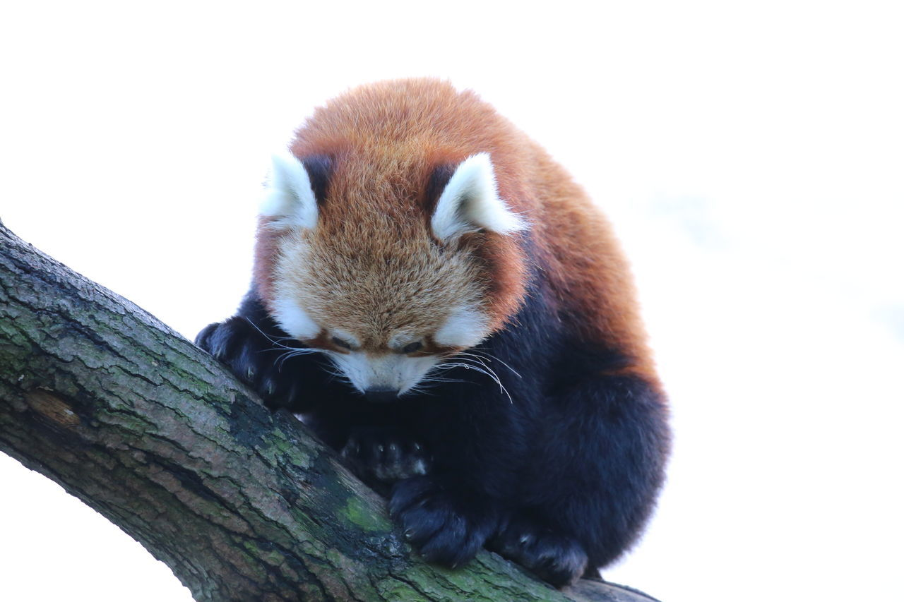 Animal Themes Animals In The Wild Close-up Day Mammal Nature No People One Animal Outdoors Red Panda Tree