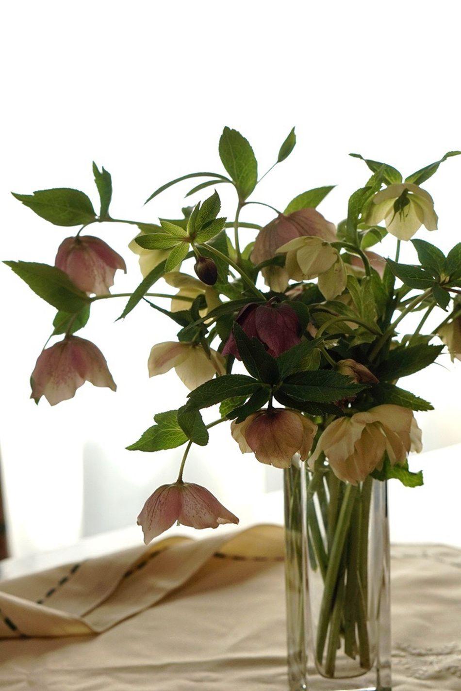 Helleborus Helleborus Niger Flowers Spring Flowers Spring EyeEm Flower EyeEm Gallery Christmas Rose クリスマスローズ