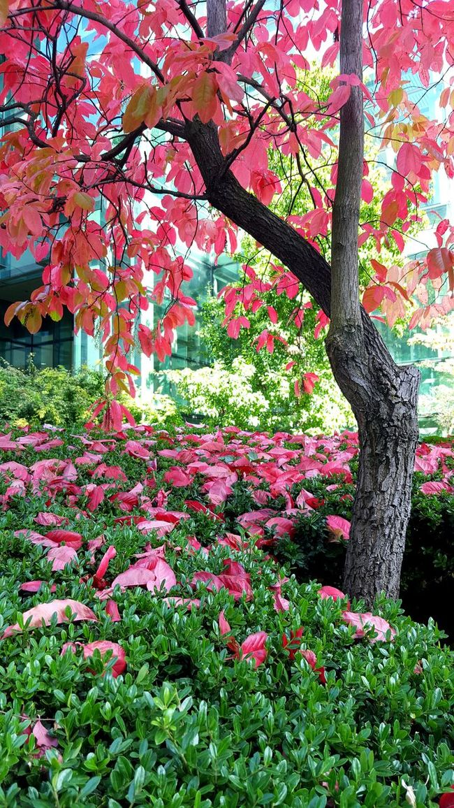 Fall_collection Autmnn Colors Fall Colors Red Leaves Tree_collection  Red Greenery Nature_collection EyeEm Nature Lover Trees Fall Beauty Bushes Landcaping Walking Around Fallen Leaves Colors