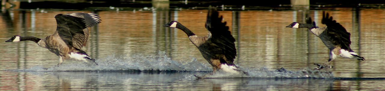 They were honking as they landed. A Trio Of Canada Geese Landing In Formation Animal Themes Animal Wildlife Animals In The Wild Bird Day Motion Nature No People Outdoors Spread Wings Water