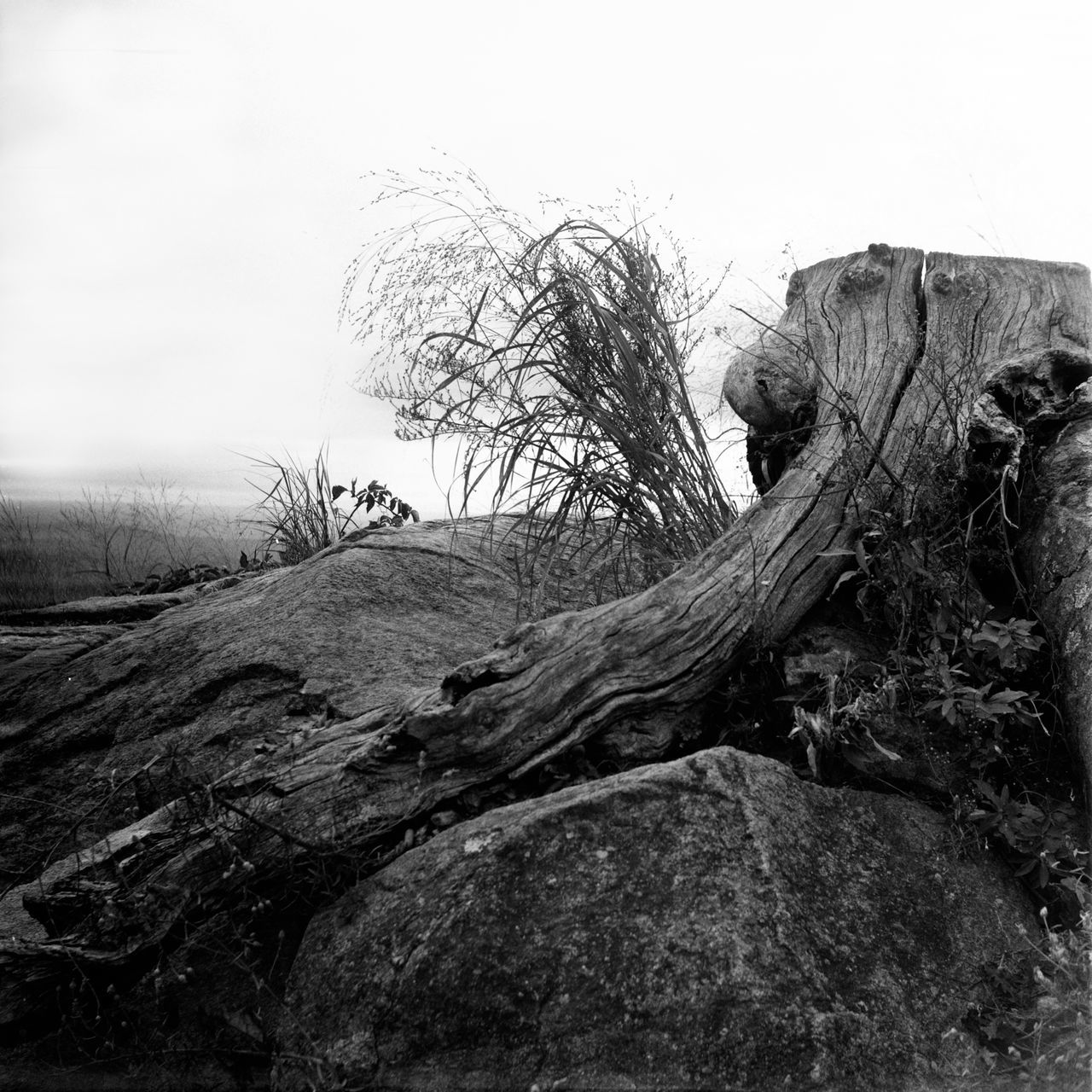 Abandoned Analogue Photography Bare Tree Beach Beauty In Nature Black And White Clear Sky Close-up Day Dead Tree Film Photography Hasselblad Nature No People Outdoors Rock - Object Rock Formation Shenandoah National Park Sky Spooky Stump Textured  Tranquility Tree