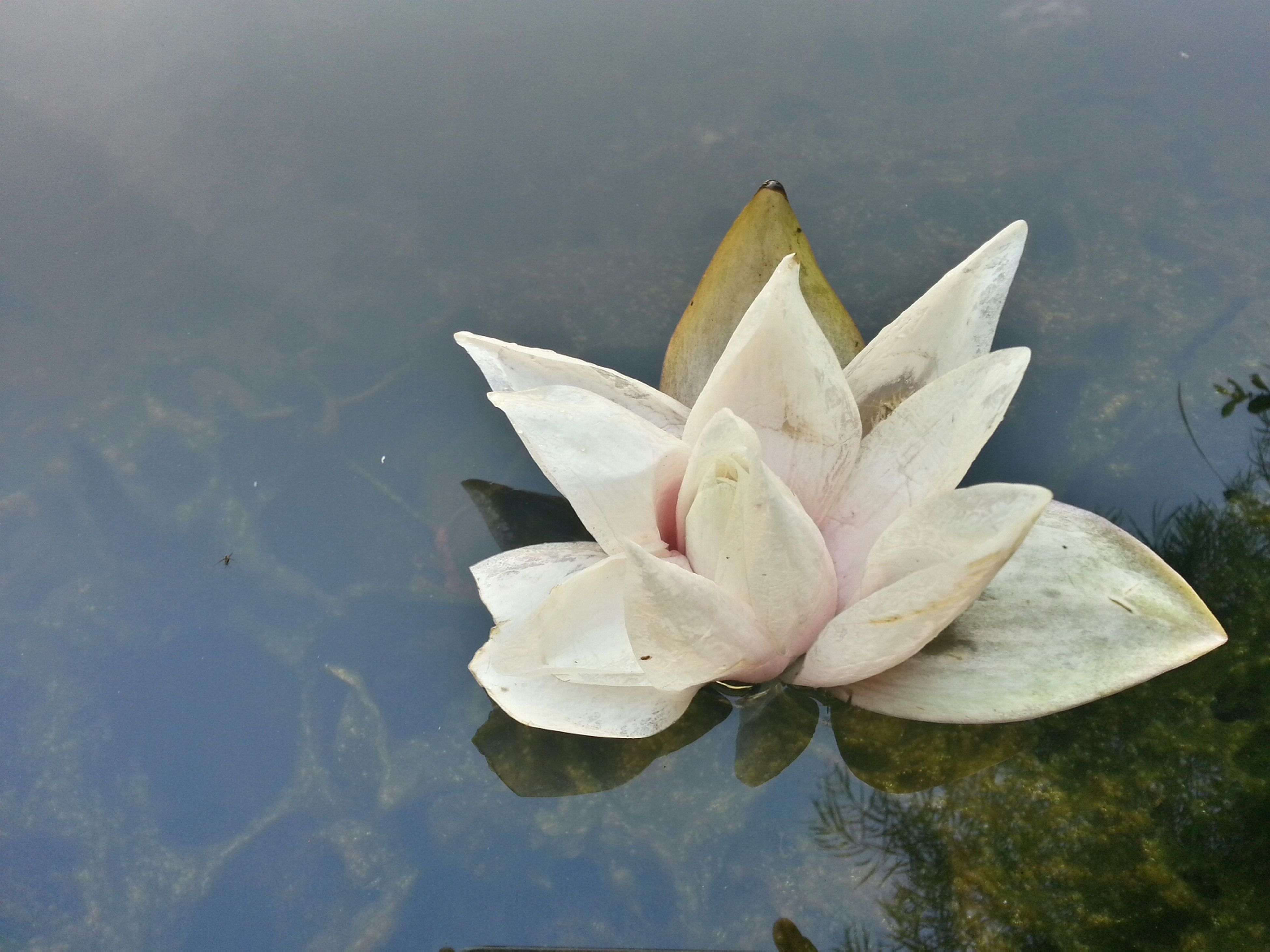flower, petal, water, fragility, flower head, freshness, beauty in nature, water lily, nature, pond, growth, floating on water, leaf, white color, lake, plant, single flower, close-up, blooming, reflection
