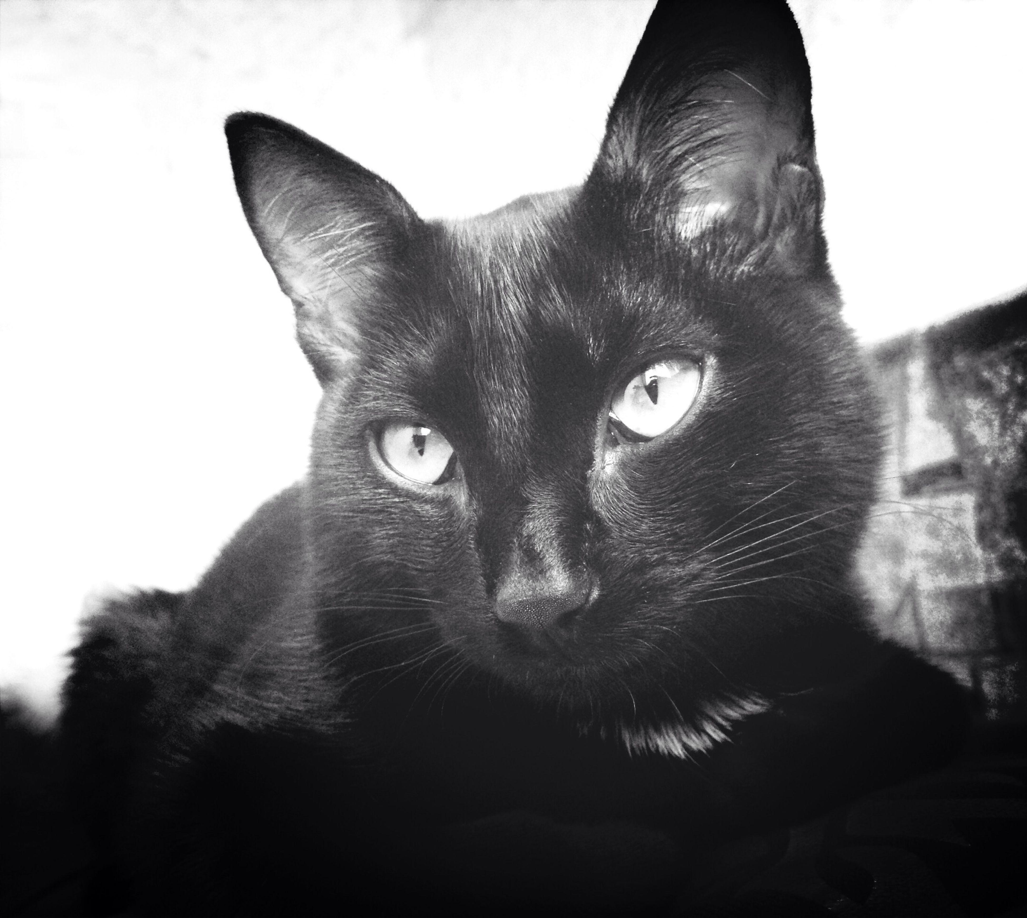 animal themes, one animal, pets, domestic animals, domestic cat, mammal, cat, portrait, black color, looking at camera, feline, whisker, close-up, animal head, indoors, alertness, staring, animal eye, black