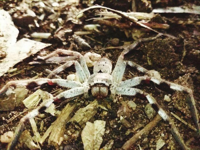huntsman spider. Australian Outback Spider