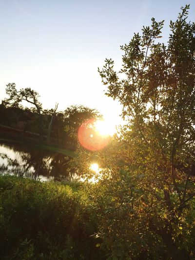 Tree Nature Sun Lens Flare Tranquil Scene Beauty In Nature Tranquility Sunlight No People Field Scenics Growth Grass Landscape Sunset Branch Day Clear Sky Sky EyeEmNewHere