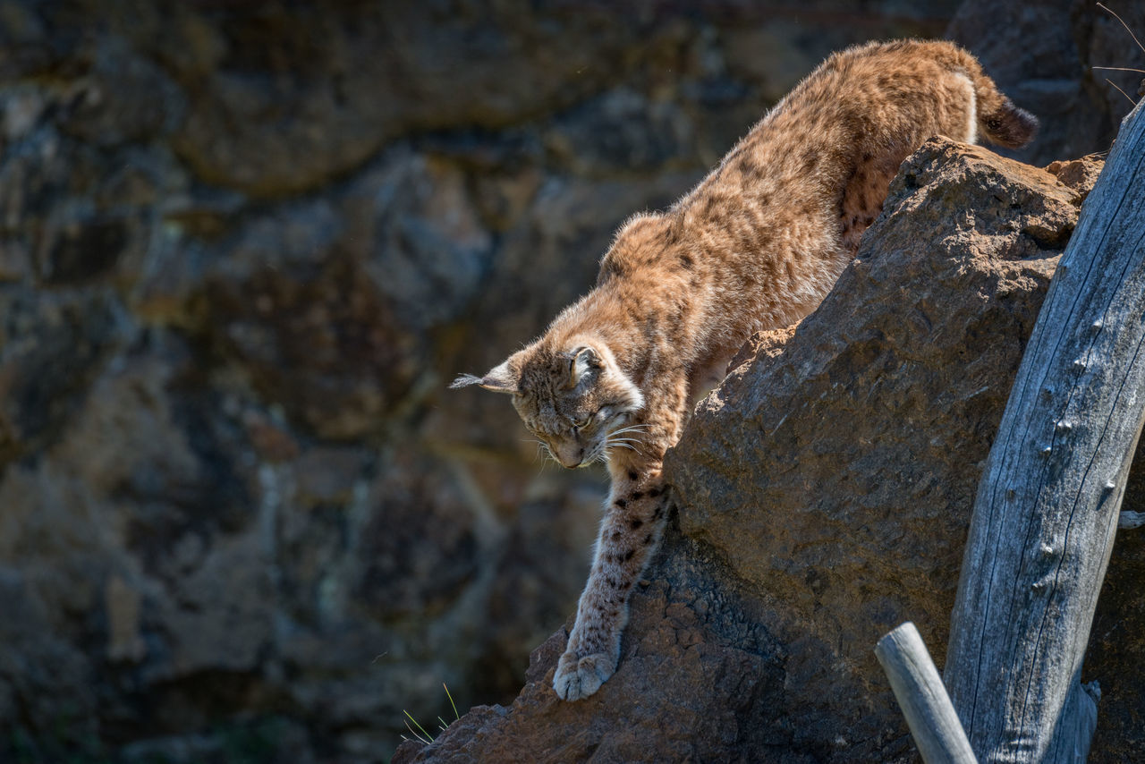 one animal, animal themes, mammal, animals in the wild, animal wildlife, feline, no people, day, outdoors, focus on foreground, close-up, nature, cheetah