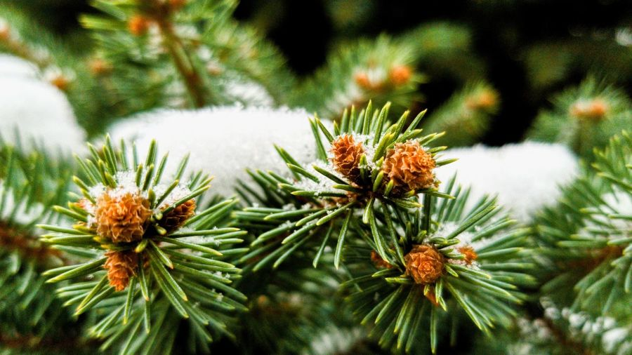 close up of a Christmas tree with snow on it Christmas Tree Christmas NYC Bronx, New York Colorful Pinaceae Beauty In Nature Day Tree Needle - Plant Part Plant Freshness