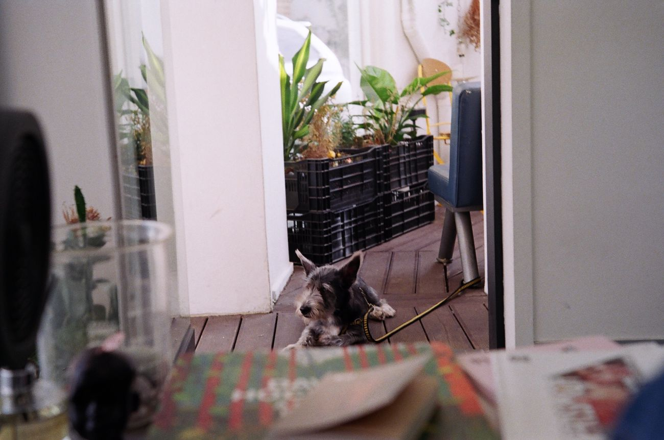 EyeEmNewHere Pets Animal Themes Mammal Domestic Animals One Animal Home Interior Indoors  Curtain No People Cat Feline Dog Day 35mm Indoors  35mm Camera 35mmfilmphotography Film Film Photography
