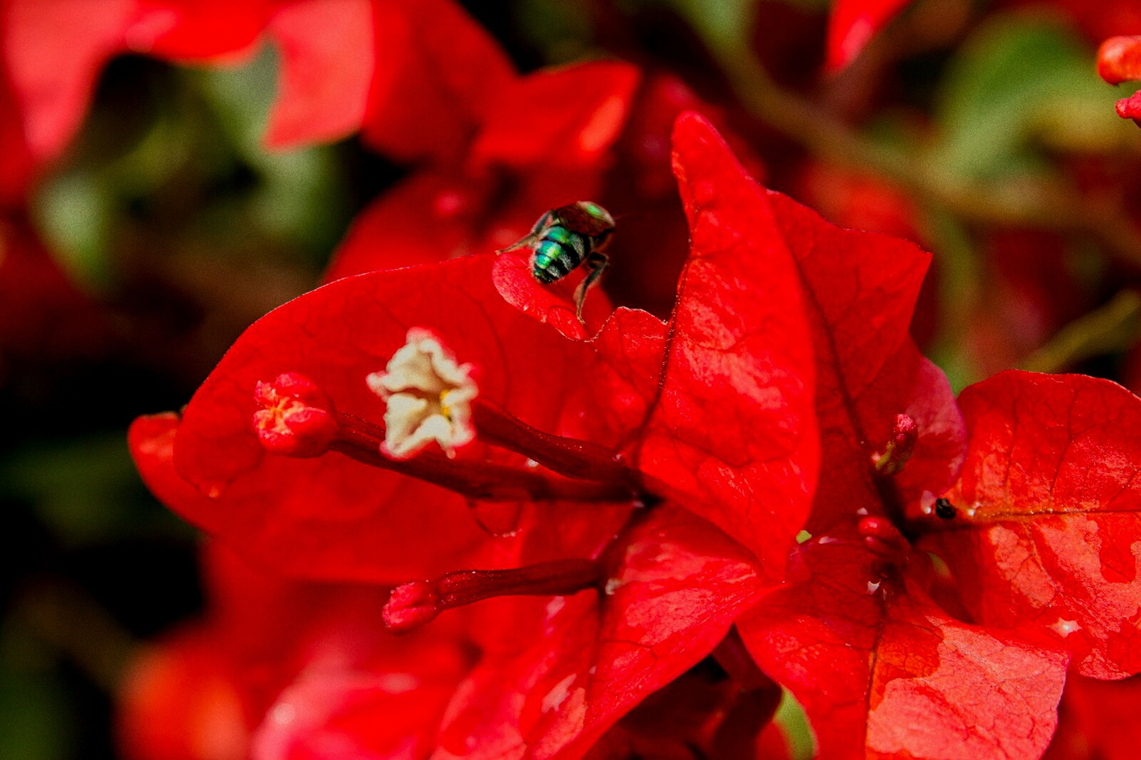 red, flower, petal, fragility, nature, close-up, freshness, animal themes, beauty in nature, flower head, growth, insect, one animal, pollen, no people, animals in the wild, outdoors, day