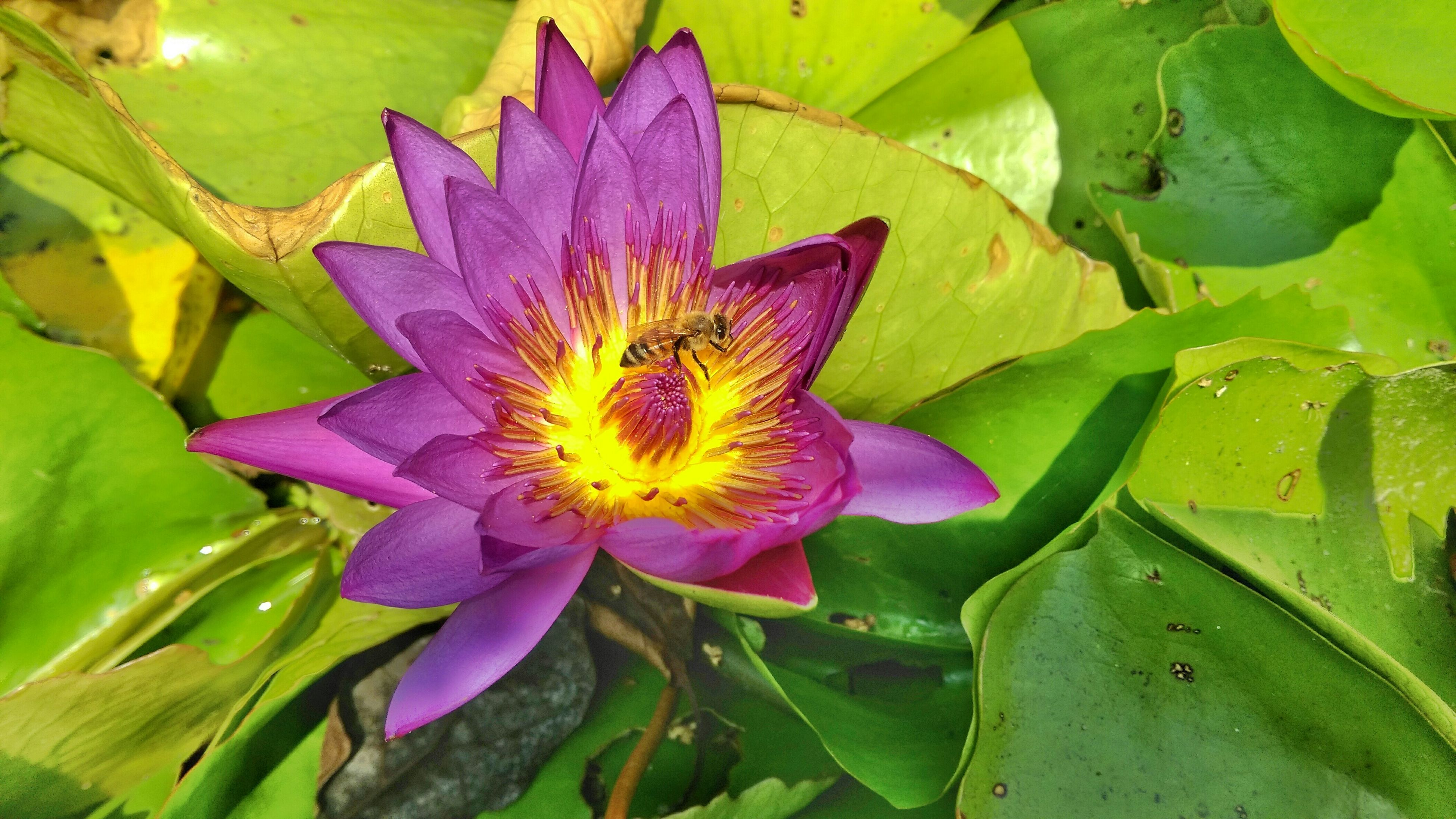 flower, petal, freshness, flower head, fragility, water lily, leaf, growth, beauty in nature, single flower, plant, purple, blooming, pond, nature, water, lotus water lily, close-up, green color, pollen