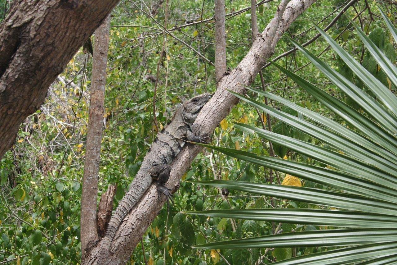 Agriculture Bamboo Grove Beauty In Nature Day Green Color Growth Iguana Lizard Nature Nature No People Outdoors Reptile Rural Scene Tranquility Tree Tree Trunk Wood - Material