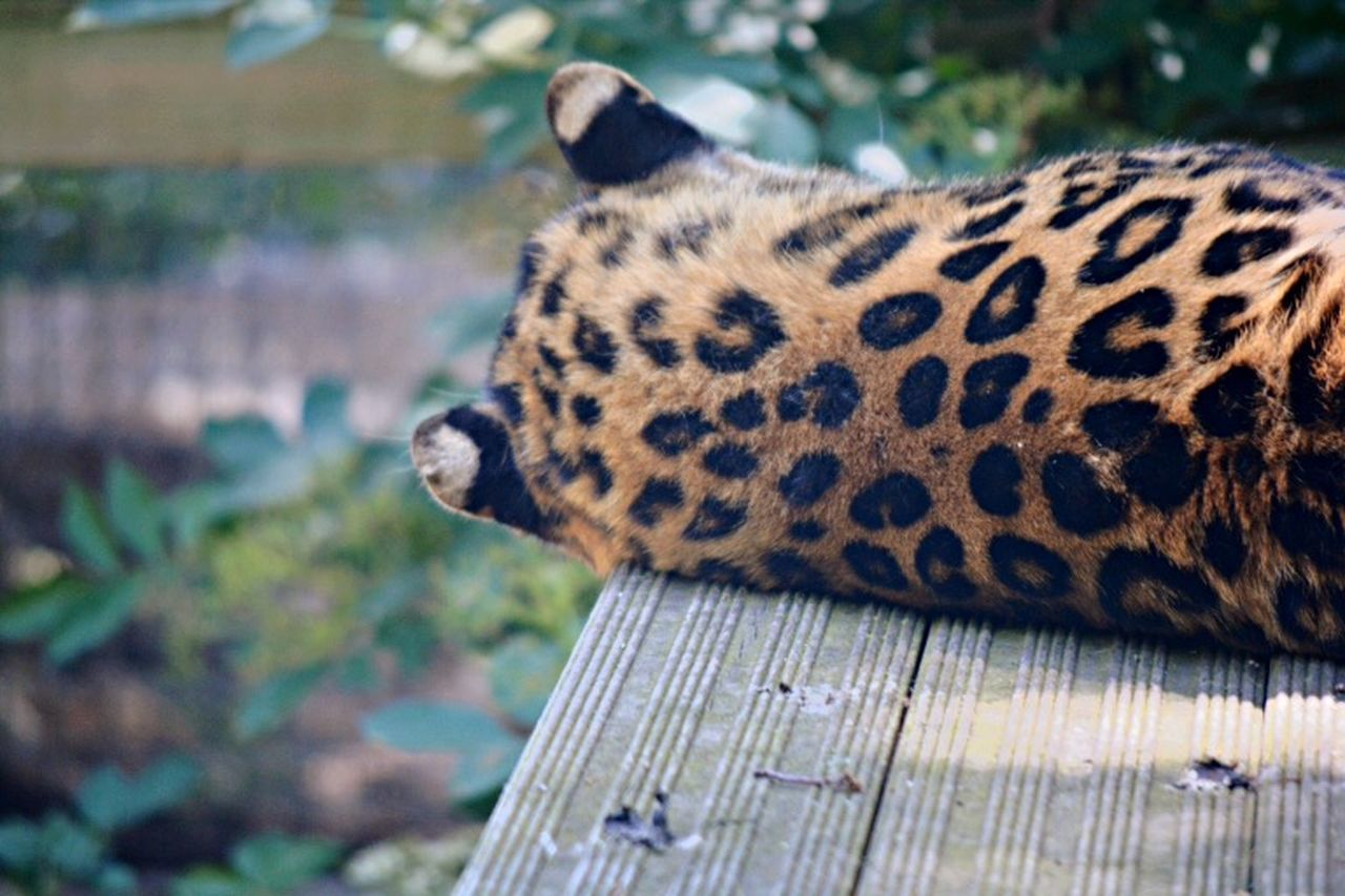 Animals Leopard Photo Animal Wildlife Nature