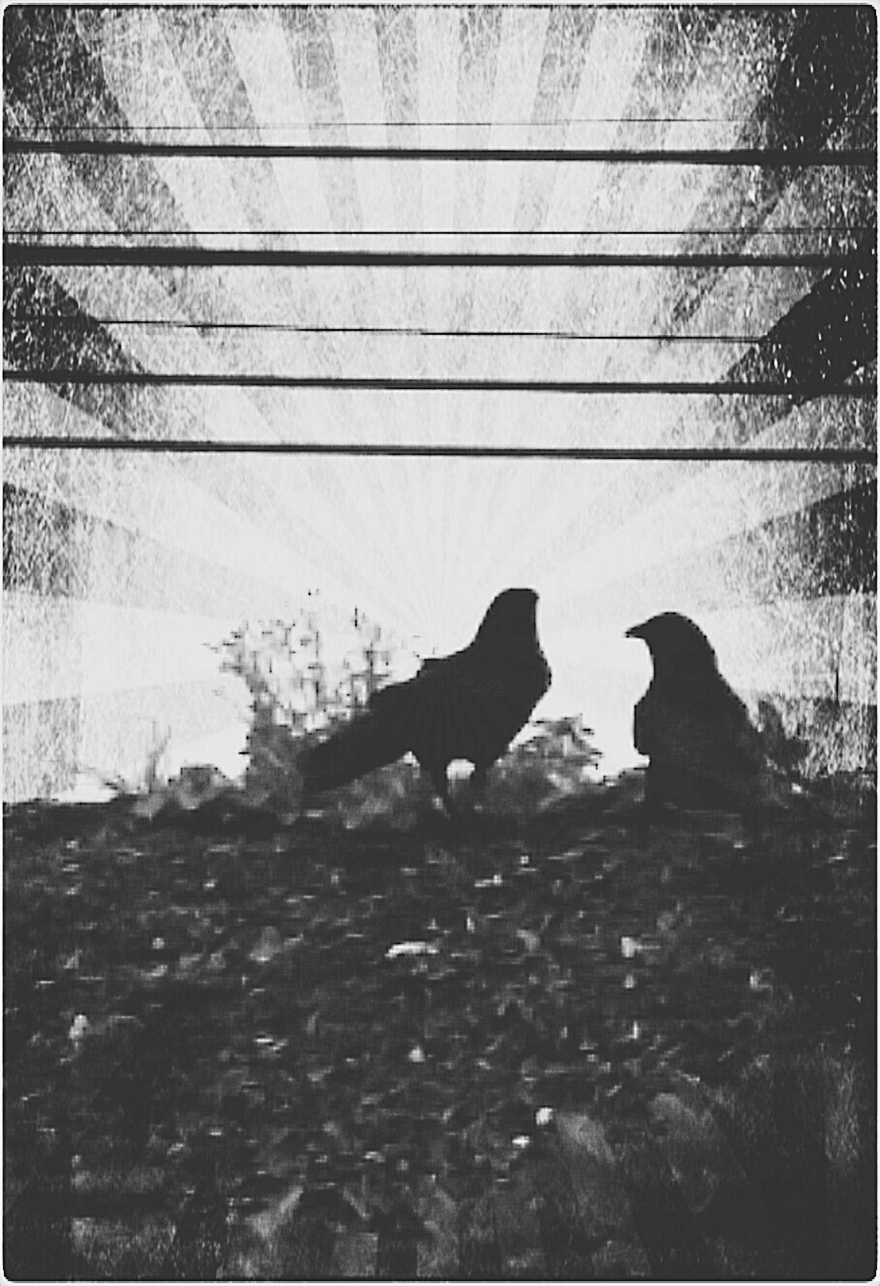 New Damn Dark Day Crows Black & White No Edit No Fun Black&white Black And White Blackandwhite