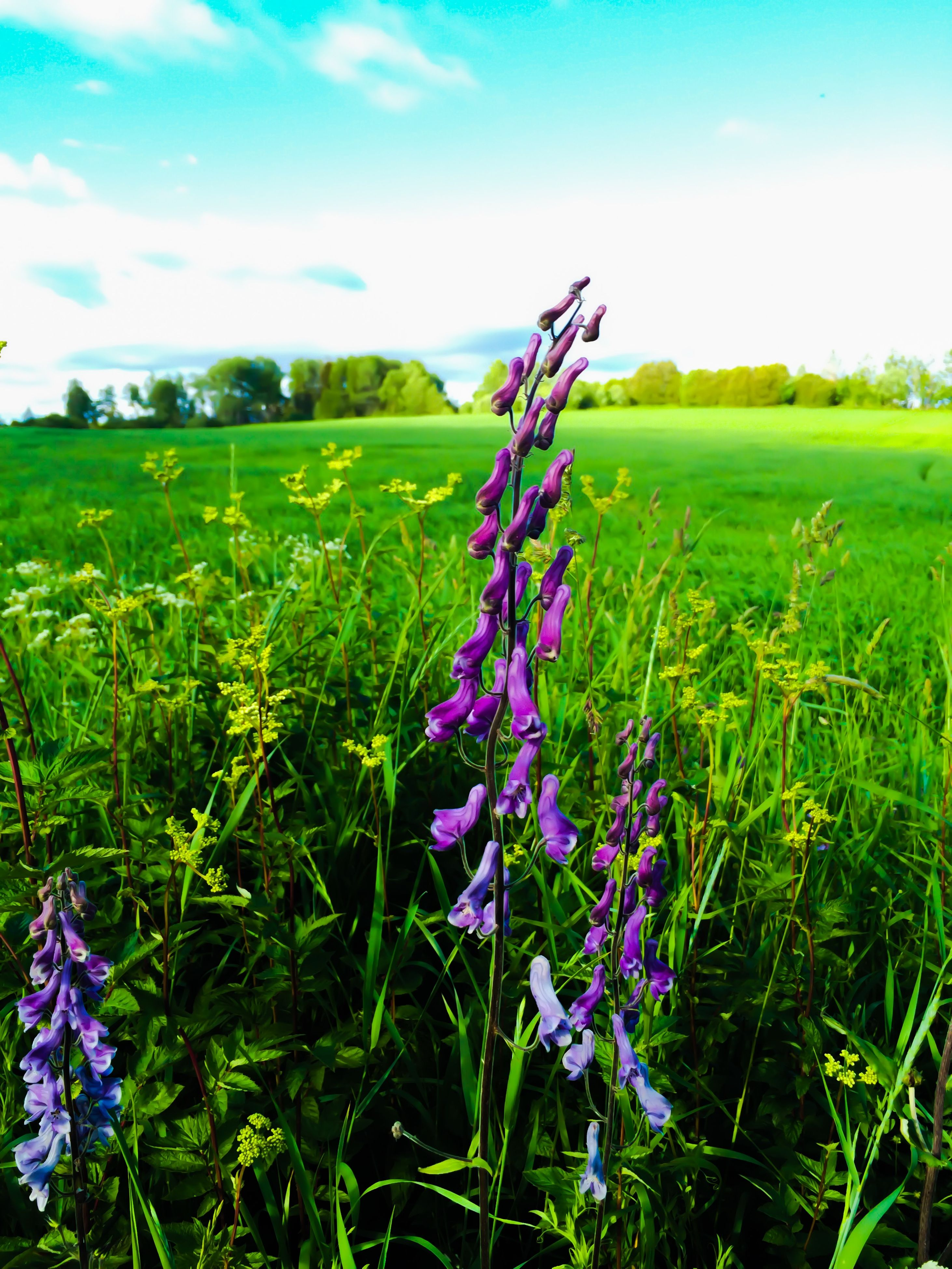 flower, field, growth, purple, landscape, grass, beauty in nature, freshness, nature, plant, rural scene, blue, fragility, tranquility, tranquil scene, sky, agriculture, wildflower, meadow, scenics