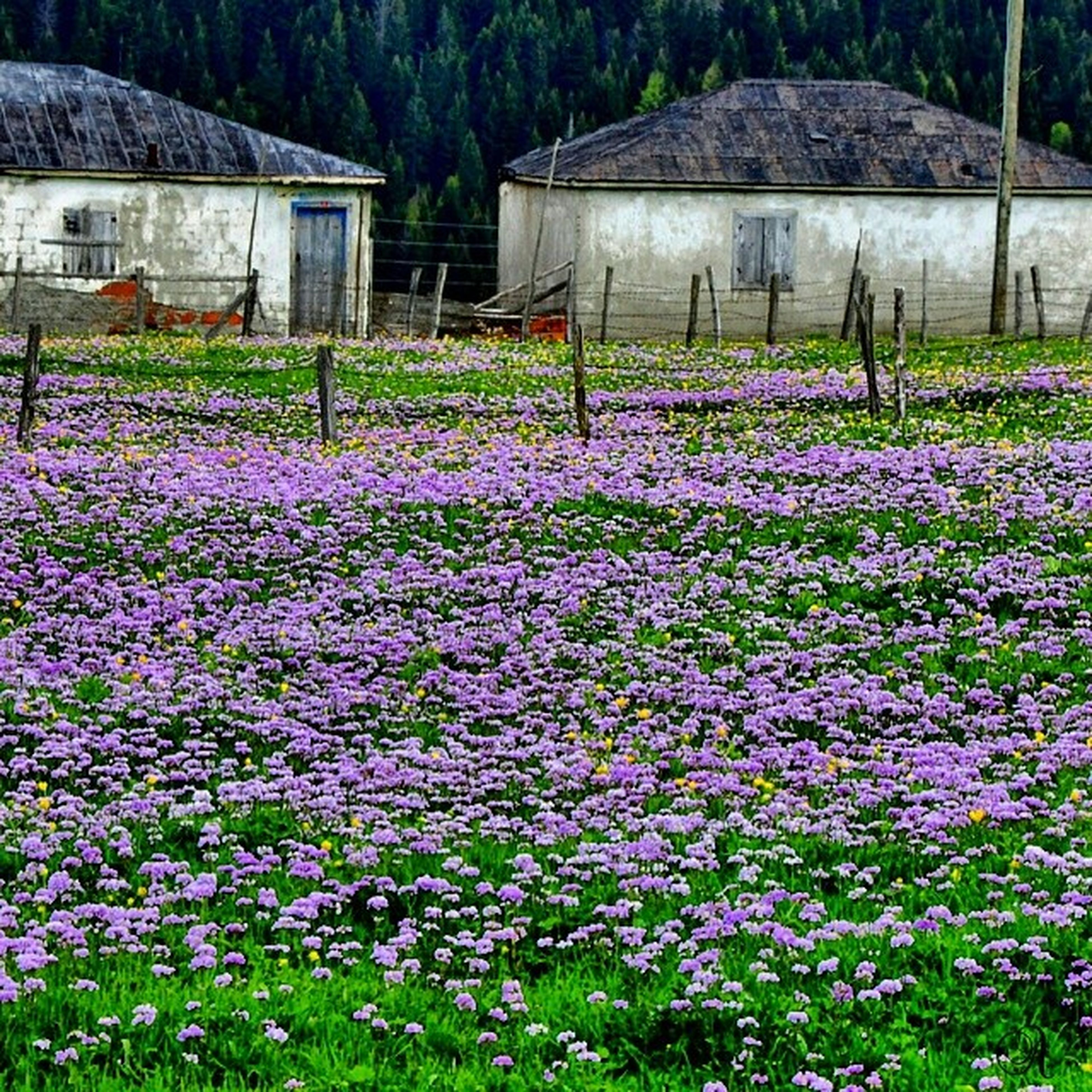 flower, freshness, growth, fragility, beauty in nature, plant, nature, blooming, field, grass, building exterior, pink color, blossom, in bloom, petal, built structure, day, purple, outdoors, springtime
