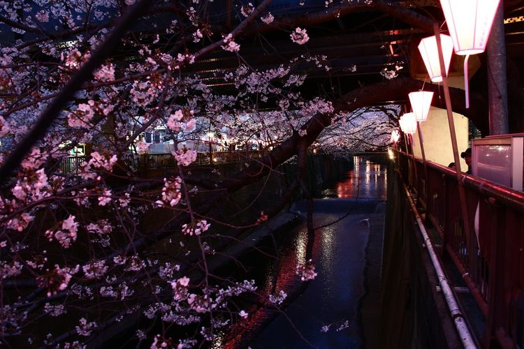 Sakura Night Urban Spring Fever Cherry Blossoms EyeEm Best Shots EyeEm Nature Lover The Purist (no Edit, No Filter) Showcase April Walking Around Spring Streetphotography Japan Lovers Nature River Reflection Capture The Moment Beautiful Nature Flowers Yeah Springtime! Festival From My Point Of View Light And Shadow Learn & Shoot: After Dark Holiday POV Our Best Pics