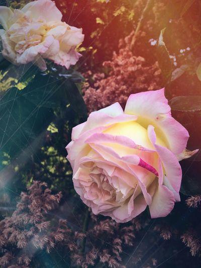 Roses First Eyeem Photo