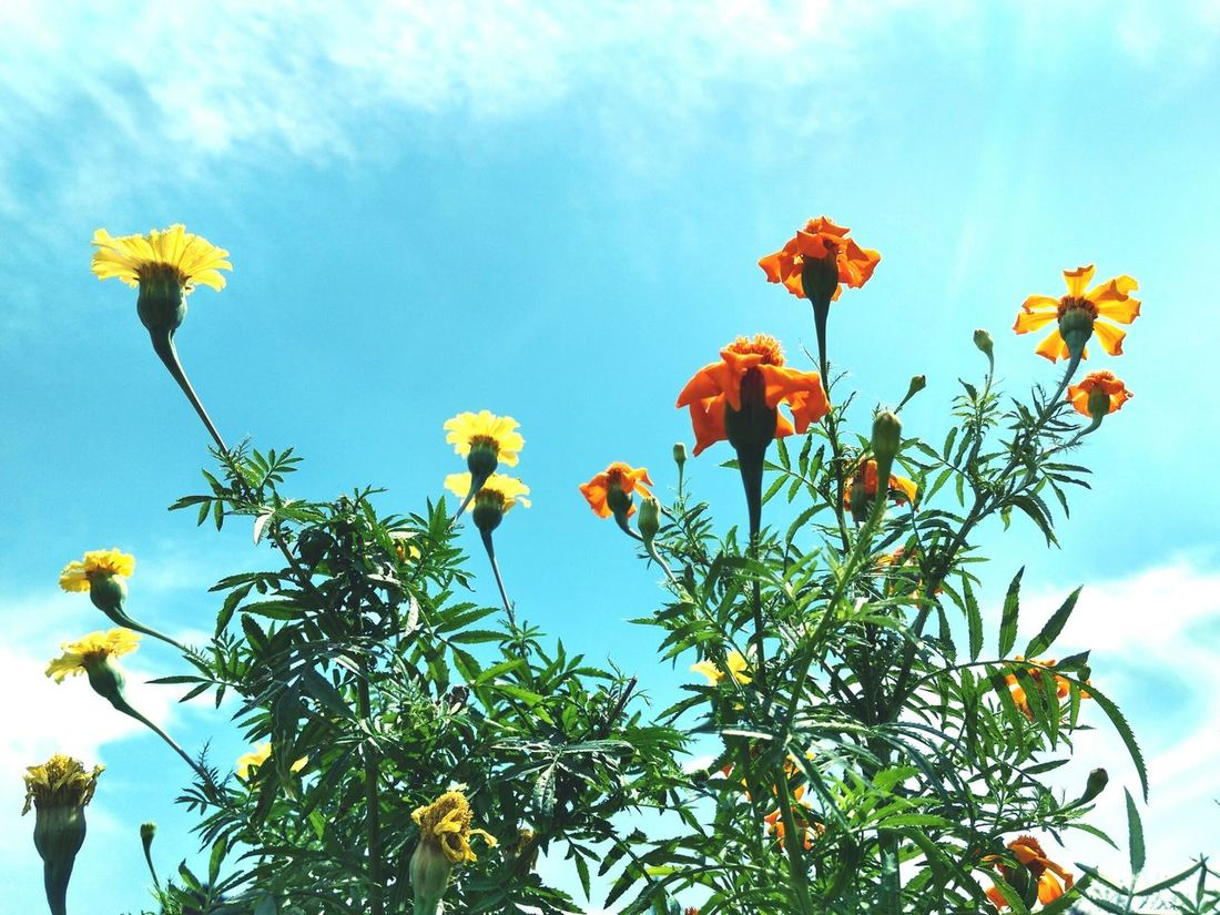 Blue Sky Clouds And Sky Colors Yellow Flower Nature Beauty In Nature EyeEmbestshots Sunlit Outdoors EyeEm EyeEm Best Edits Sky Sunfllowers EyeEmNewHere Live For The Story
