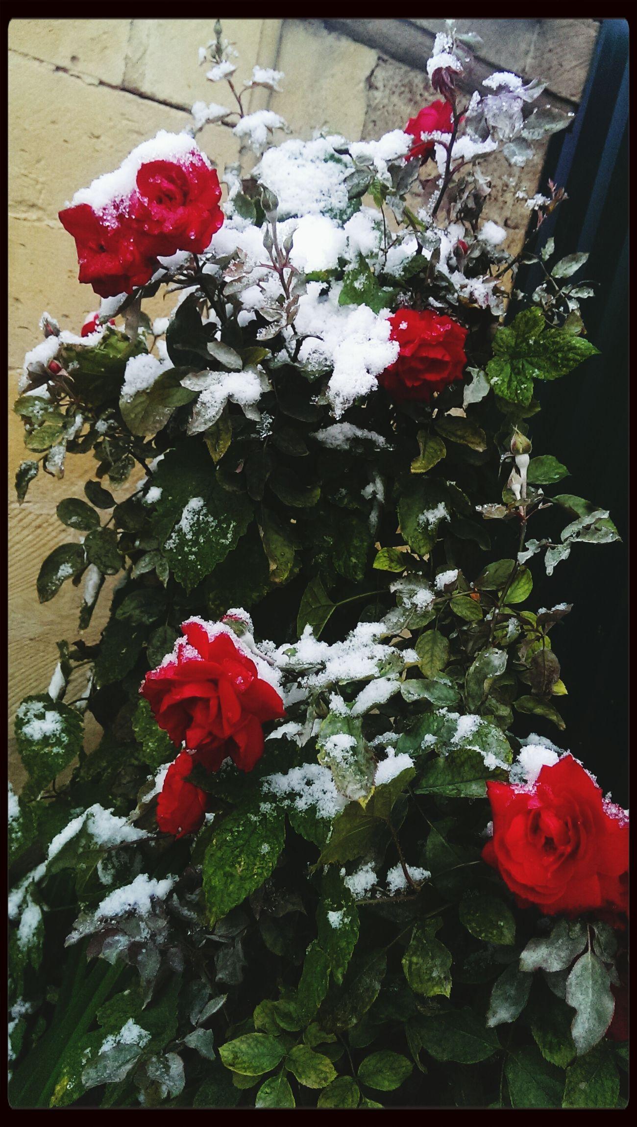 Роза в снегу ?