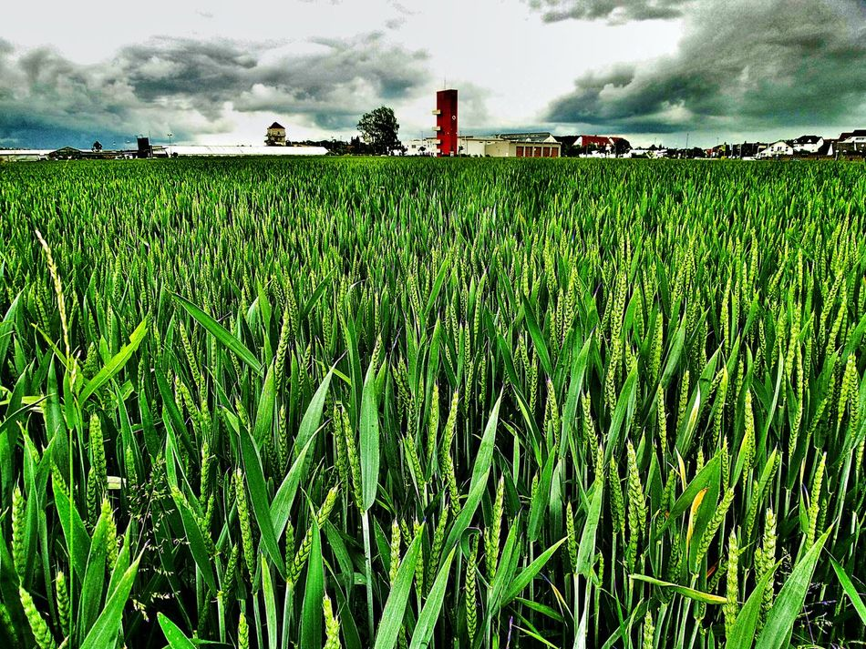 Freshly Growing Wheat Field Sharp Contrast Sharp Horizon View To The Fire House Clouds And Sky A Storm Is Coming Nature Landscape Summer 2016 The Great Outdoors - 2016 EyeEm Awards The Essence Of Summer Nature's Diversities Germany🇩🇪 The Mix Up