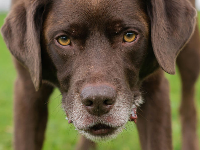 Labrador Animal Themes Close-up Day Dog Domestic Animals Focus On Foreground Looking At Camera Mammal No People One Animal Outdoors Pets Portrait