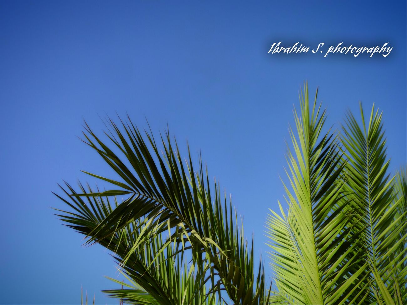 Palm trees view from top of my house. Palm Trees Ibrahim S Photography