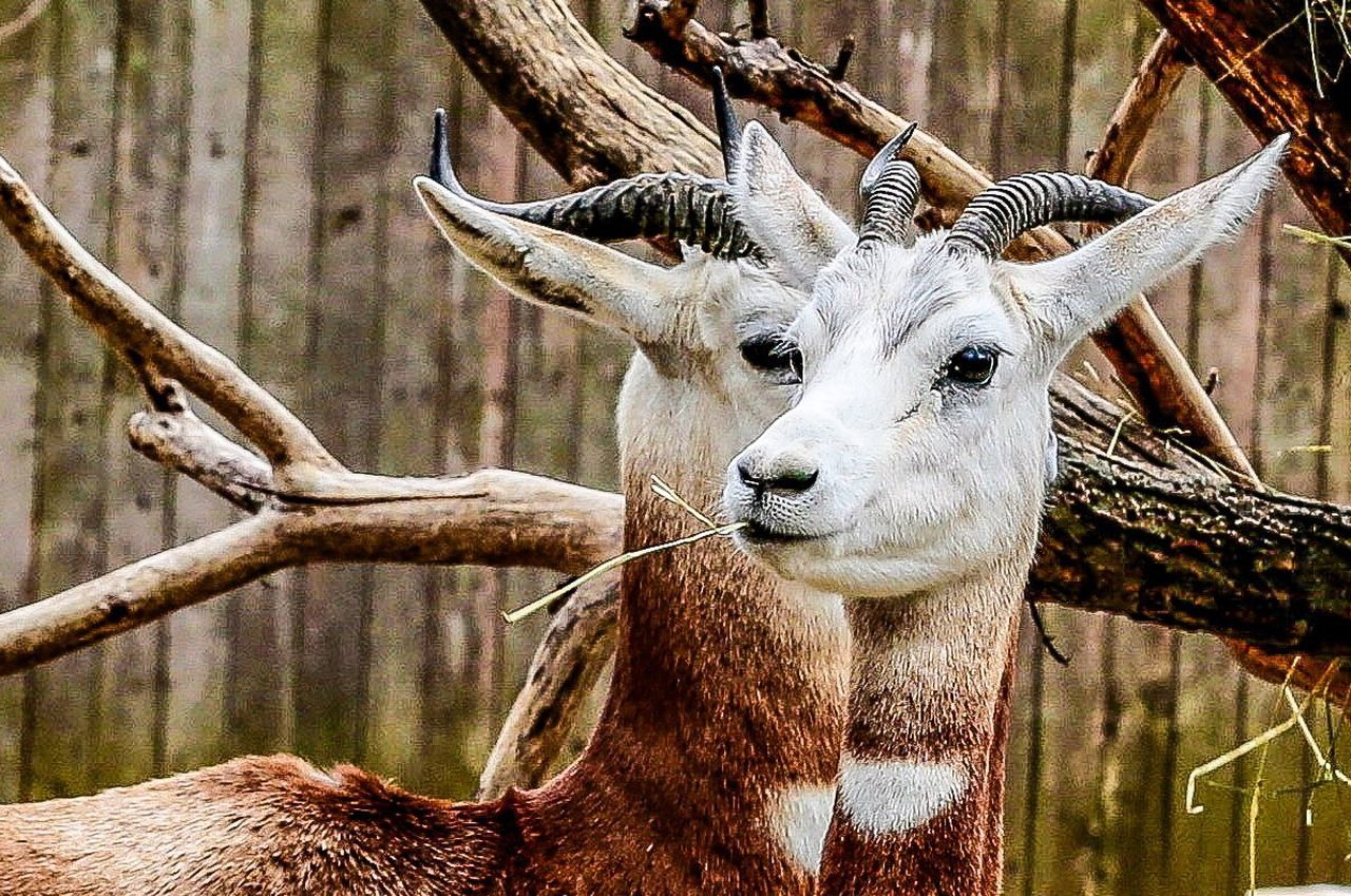 Looking At Camera Animal Themes Portrait Close-up No People Day Animals In The Wild Nature One Animal Mammal Outdoors Beauty In Nature Tree Antler Curiosity JGLowe Animals In The Wild Nature Beauty In Nature Animal Wildlife