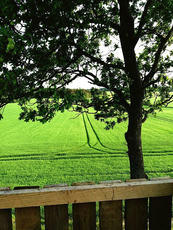 Denmark 🇩🇰🇩🇰🇩🇰 Beauty In Nature Green Grass Green Color 😍😍😍 Beautiful 😍love😍 Tree🌳