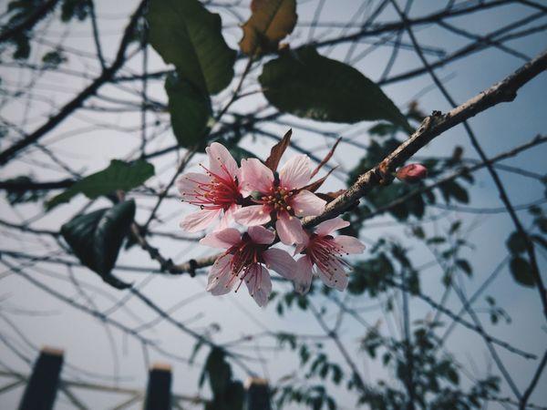 พญาเสือโคร่ง Flowers Pinkflowers Beautiful Cool Relaxing Hello World Taking Photos Enjoying Life Love Mountains Traveling Phutabberk Petchabun Thailand