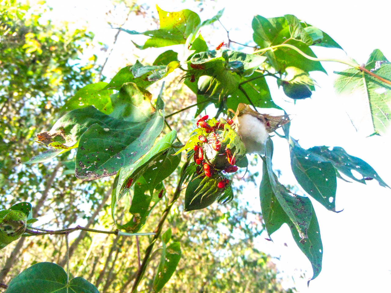 Beetle Branch Check This Out Cotton Day Green Insect Leaves Love Bugs Low Angle View Nature Outdoors Tree Twig