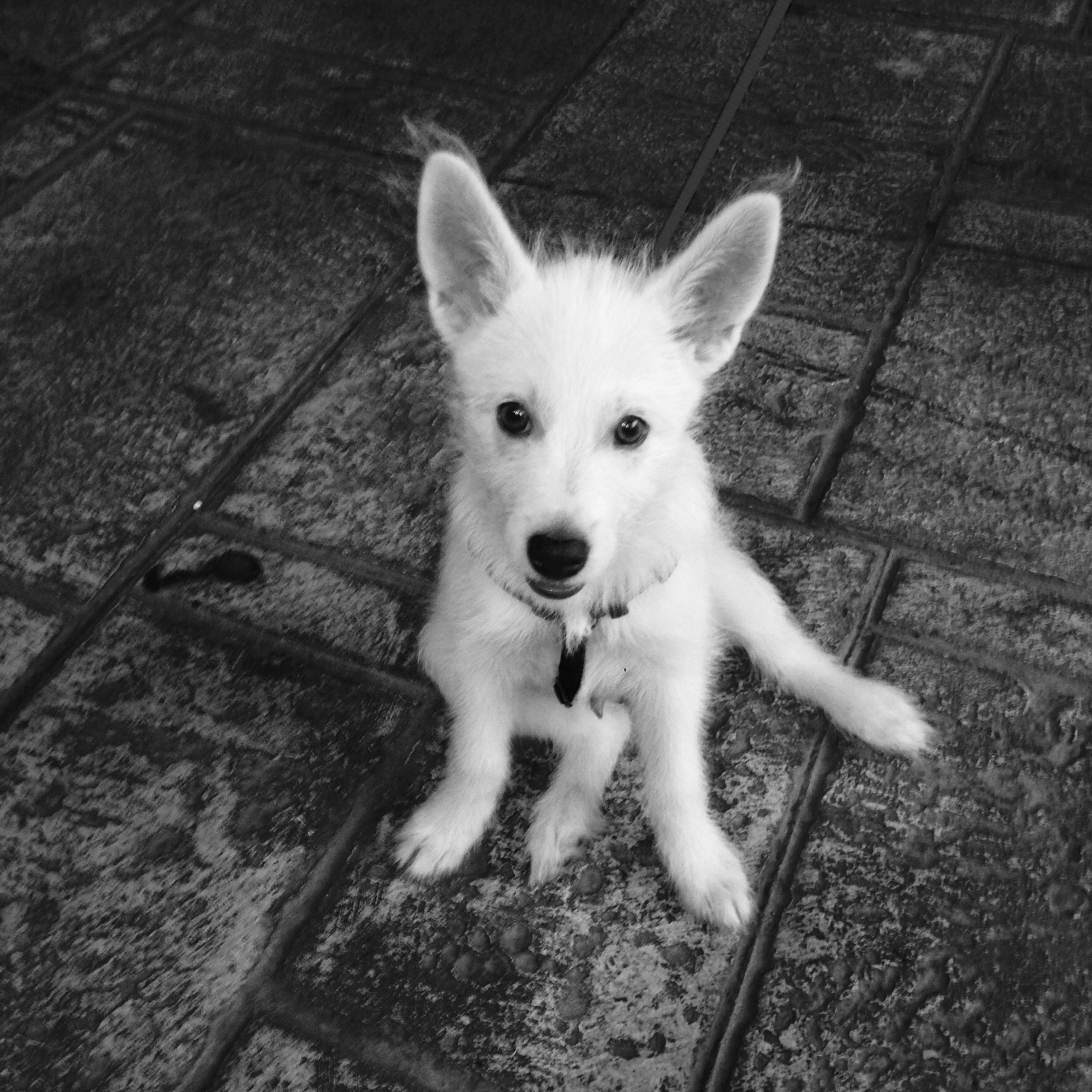dog, animal themes, one animal, pets, domestic animals, high angle view, mammal, looking at camera, portrait, sitting, puppy, standing, pet leash, cute, full length, young animal, no people, street, day, outdoors