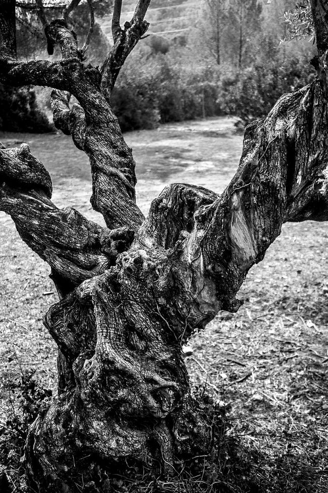 Olive Tree Textures And Surfaces Fragments Of Life Open Edit Blackandwhite Monochrome Monochrome_life Mediterranean Nature Summer