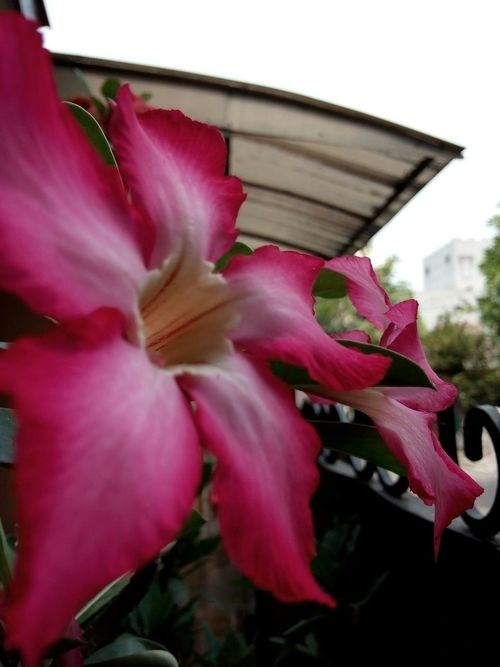 Flower_gallery Flower Photography Flower Collection 🌷 Flowers 🌹 Pink Flower Adenium Kamboja Jepang My Premium Collection