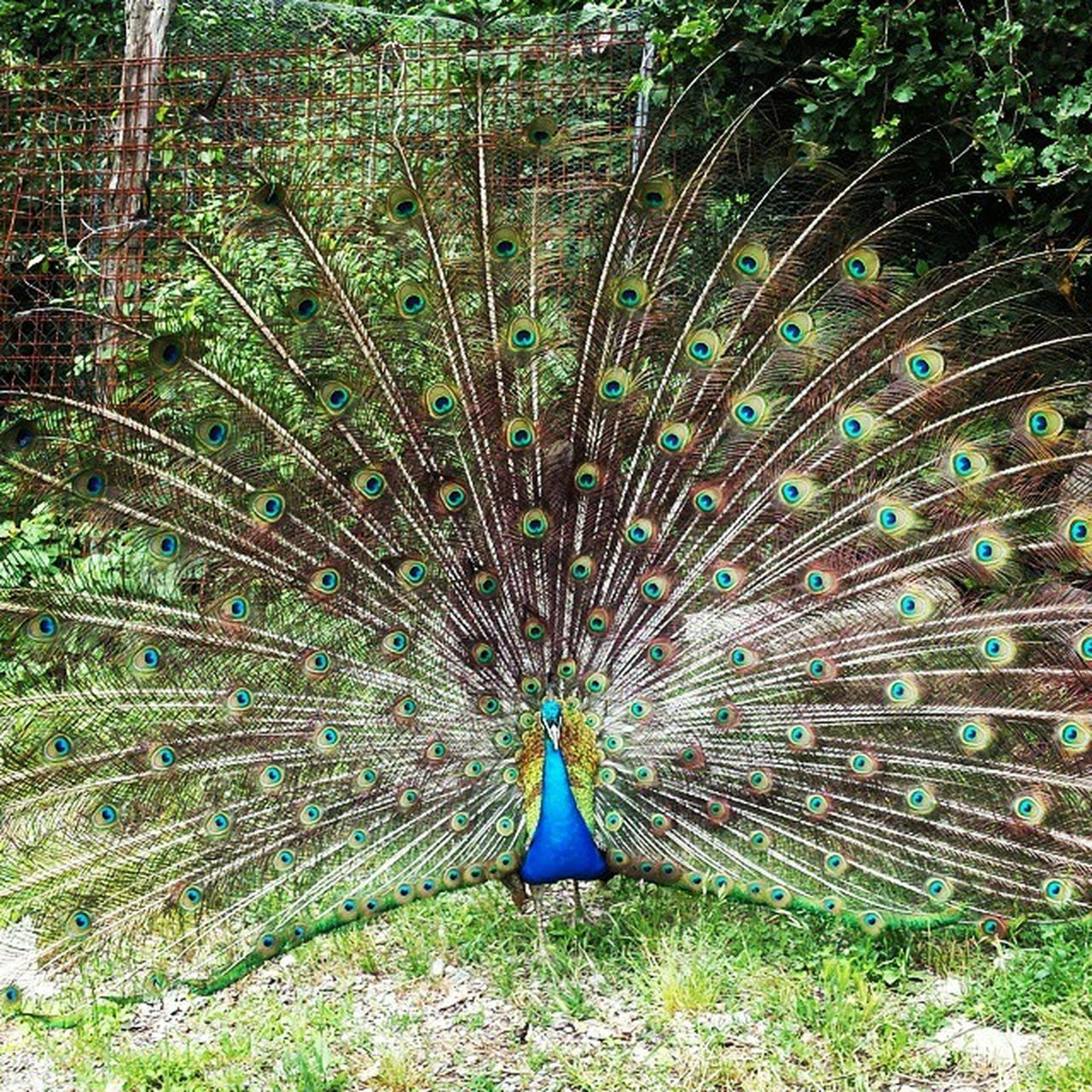 peacock, peacock feather, bird, animal themes, one animal, fanned out, animals in the wild, animal wildlife, feather, nature, day, field, outdoors, no people, beauty in nature, multi colored, close-up