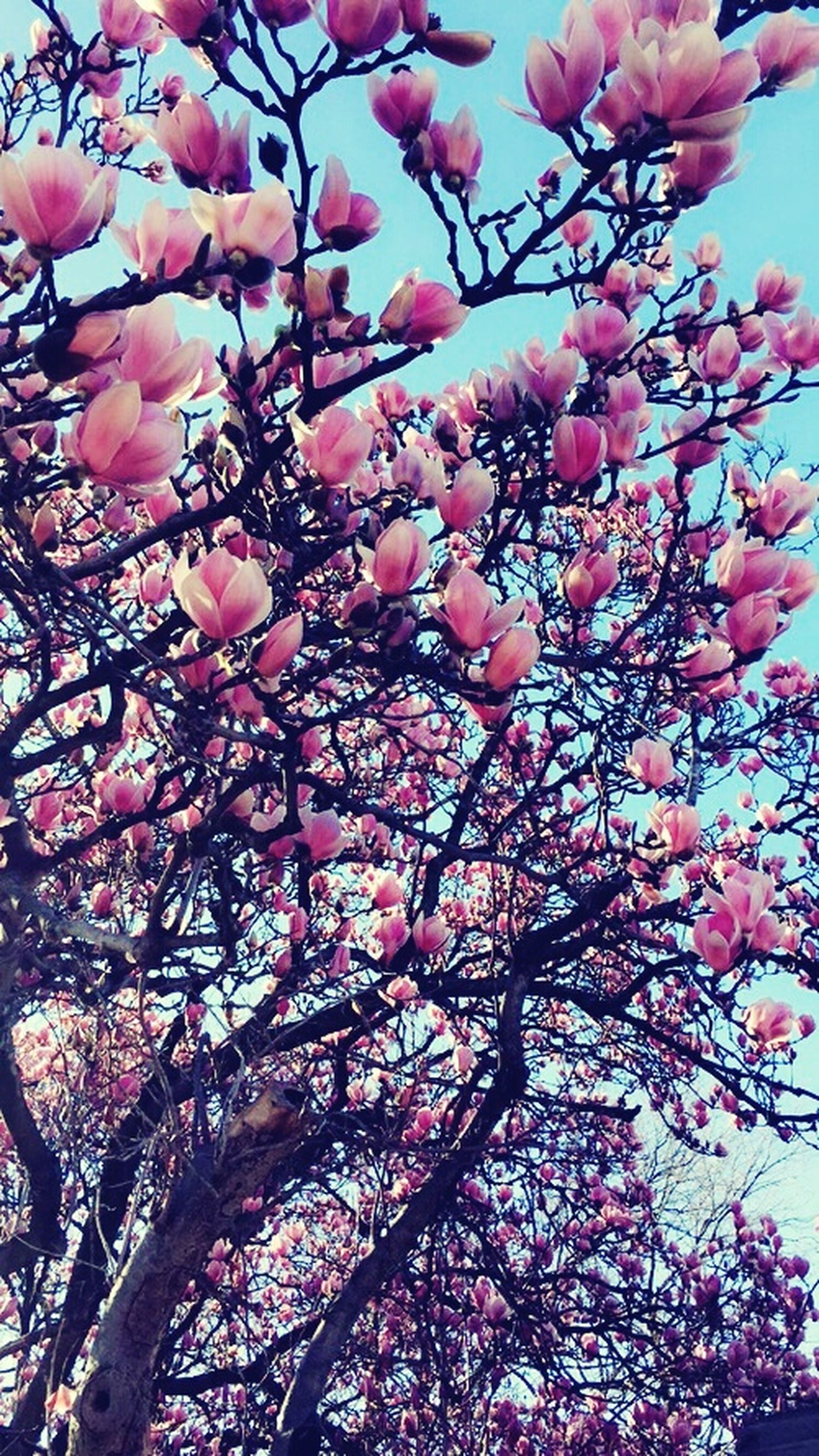 flower, branch, low angle view, tree, freshness, growth, beauty in nature, pink color, fragility, nature, blossom, cherry blossom, cherry tree, in bloom, springtime, blooming, pink, fruit tree, outdoors, abundance