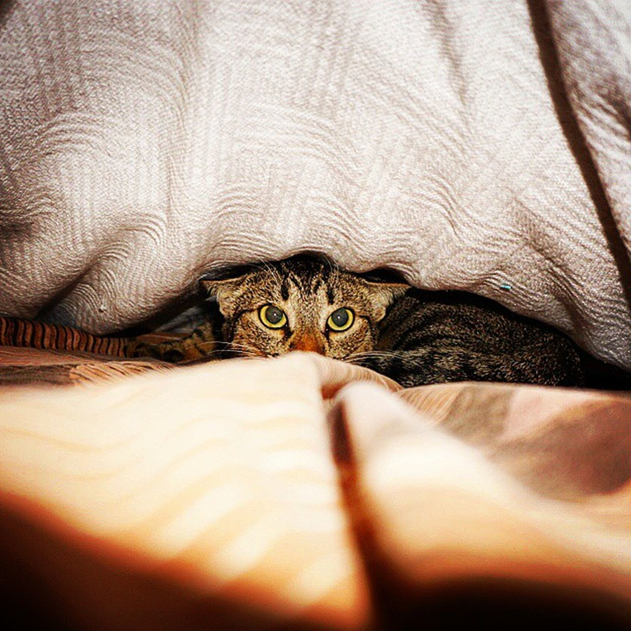 domestic cat, one animal, animal themes, pets, feline, domestic animals, mammal, cat, indoors, bed, hiding, no people, reptile, looking at camera, home interior, portrait, day, close-up, nature, bedroom, under, tortoise shell