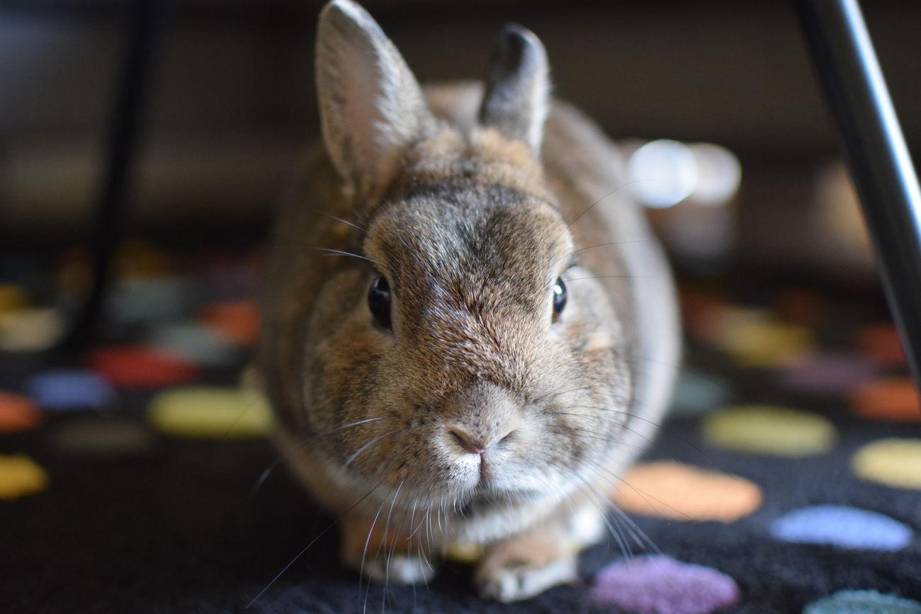 Close-up Domestic Animals EyeEmNewHere Hermelin Indoors  Looking At Camera Mybunny No People One Animal Pets Rabbit
