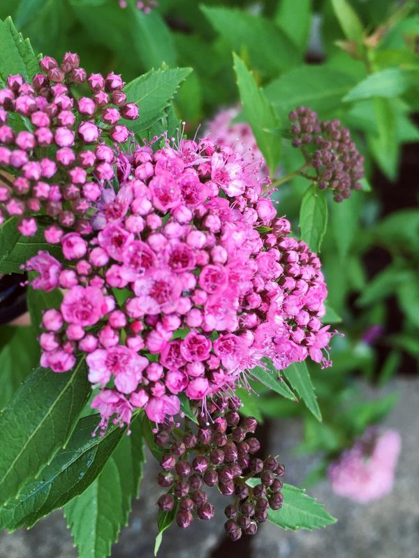 Flower Beauty In Nature Growth Fragility Nature Pink Color Plant Petal Freshness Close-up No People Day Outdoors Flower Head Lilac Blooming Leaf